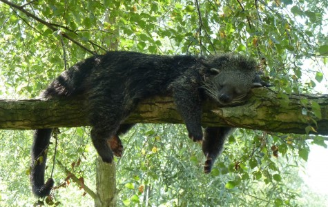 7 Fun Facts You About The Binturong (Arctictis Binturong)